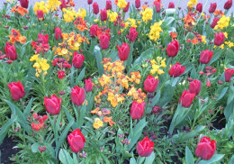 Red tulips and wallflowers
