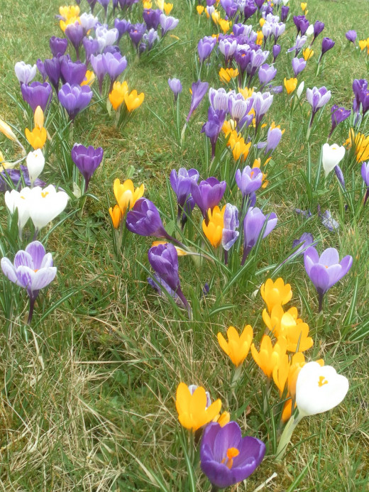 Crocuses in a lawn