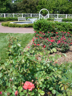 An orange /coral rose growing in the rose garden.  Look how it stands out?
