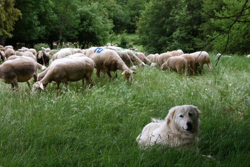 Five Best Livestock Guard Dogs