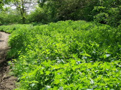 How The Common Nettle Plant Gives Healing And Health.