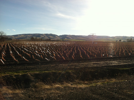 Grow Tubes Utilized at a Walla Walla Vineyard
