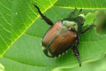 The Japanese Beetle, A Beautifully Disguised Trouble Maker