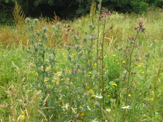 my garden of wildflowers or weeds?