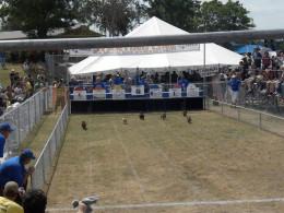 Buda TX Wiener Dog Races