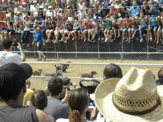 Wiener Dog Races in Buda Texas