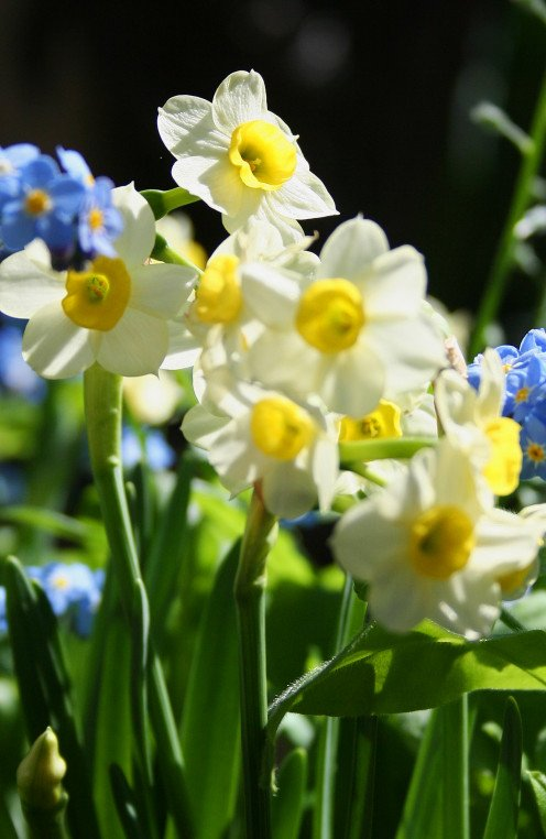 Narcissus and Forget-Me-Nots.  They look like tiny daffodils, but are really called Narcissus.