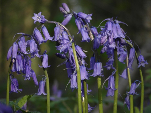 Bluebells naturalise well in a woodland area