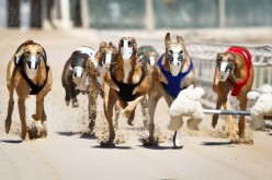 How Are Racing Greyhounds Treated?