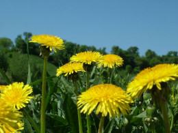 You would want to use yellow dandelions for dandelion wine, the fresher the better!