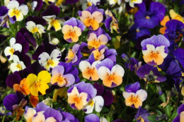 Pansies are a very common flower here in Las Vegas, you see them in all the housing developments as pretty landscape accents!