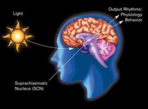 Daylight and nighttime affect the circadian rhythm of many living things.