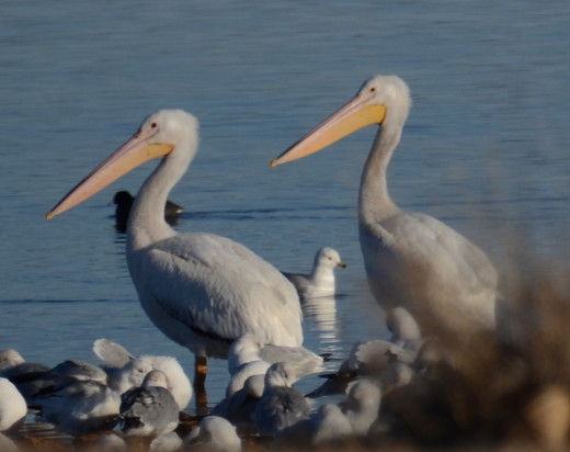 Great White Pelican Pair