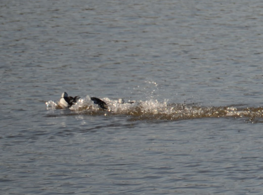 Bufflehead Battle Between the Males