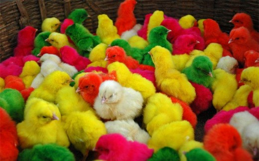 Colored Easter Chickens