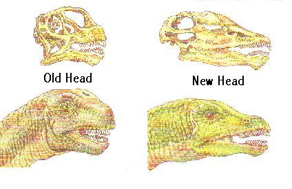 The old camarasaurus skull vs the new apatosaurus skull