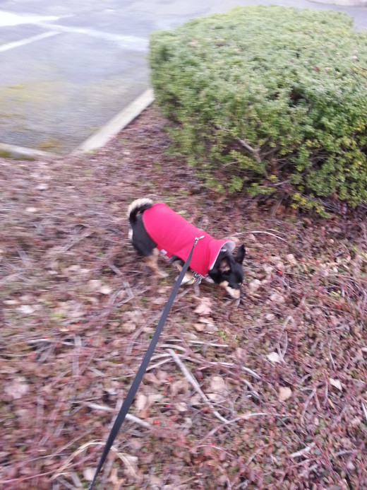 Lou in his spiffy red jacket.  Comfortable reminders of home ease anxiety of your pet when traveling.