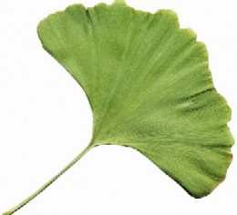 the ginkgo leaf, gingko trees also have berries but i hear they are not so tasty