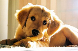 Dogs prefer to lie down to eat, avoiding bending down for their food when given the choice.