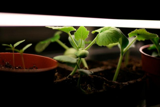 Set grow lights just above the top of the foliage for best results.