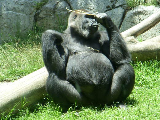 Gorillas, Azizi pregnant with her firstborn baby, Frank.