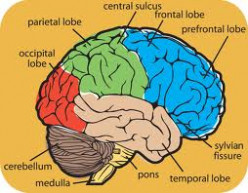 Divisions of the Human Brain