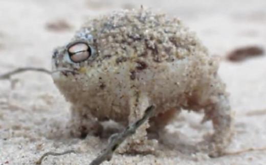 Cute, sorta funny Namaqua rain frog