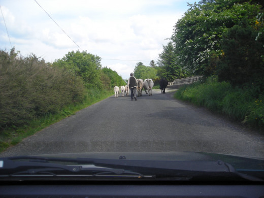 A common sight in rural Ireland. You just have to wait