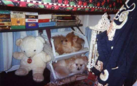 Bunk beds for my pups... Hero, top - Honey, bottom.
