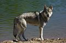 Now this one really looks wolf like