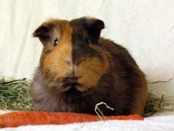 Guinea Pig Illnesses: Prevention, Treatment, Hospice