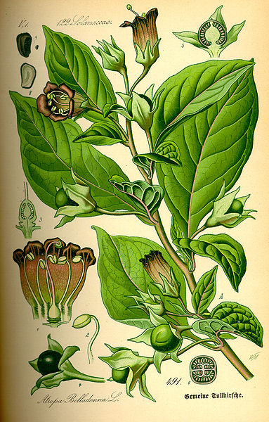 Illustration of the Atropa Belladonna plant that is also used to make an anti-spasmodic medication.