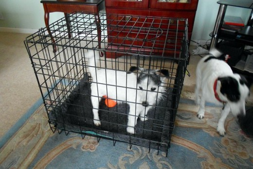 Murdoch trying out the crate has taken his favorite squeaky toy inside!