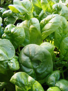 Spinach is one seed that you can sow very early.