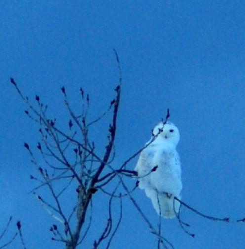 A pair of snowy owls landed in this tree as I was snowshoeing on the dunes.  The other flew about twenty feet over my head and, I could see her eyes looking down on me as she flew past.