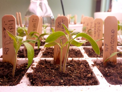 Starting tomato plants from seed provides a much larger selection.