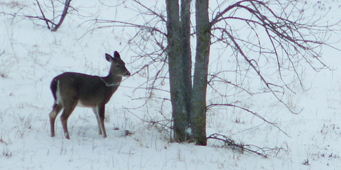A white-tailed deer forages on the tips of low hanging branches.