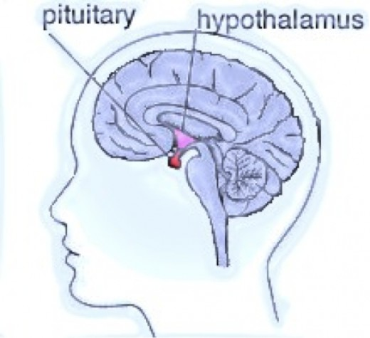 figure 1: The Pituitary Gland