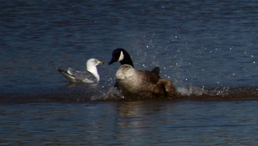 Canada Goose and Ring-billed Gull