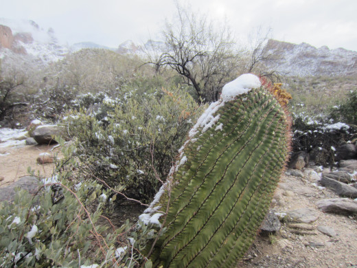 Snow covered barrel cactus along Finger Rock Trail in Tucson's Santa Catalina Mountains