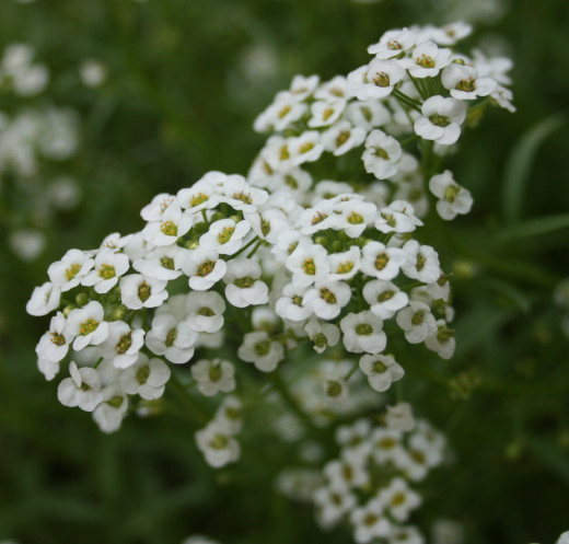 Sweet alyssum is another pretty annual that grows easily from seed. It will self-seed, too, doing a great job of planting itself so that you won't have to!