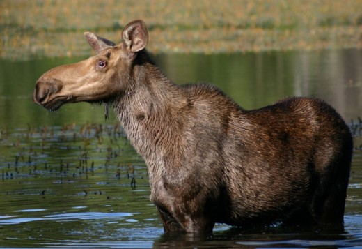 A large Moose cooling off in the lake