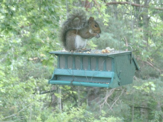 Squirrel on the bird feeder