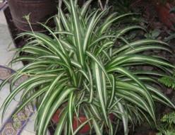 The Amazing Spider Plant