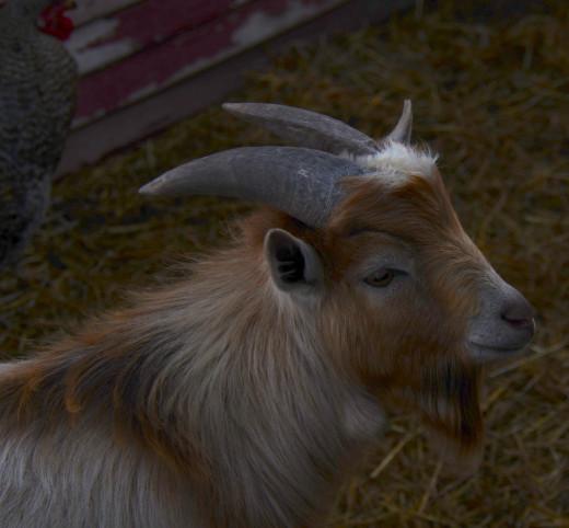 Male Pygmy Goat