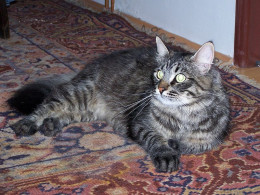 A beautiful Siberian cat. They are not only pretty, they are a hardy breed as well.