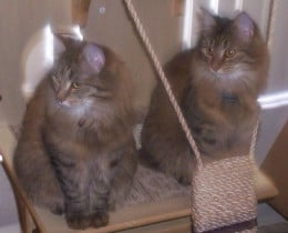 Siberian kittens. These are brown tabby mix kittens. So cute!