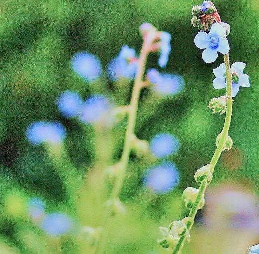 Forget-me-nots begin blooming in spring.