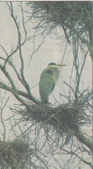 A Blue Heron nested in a tree overlooking the dock I fish at.