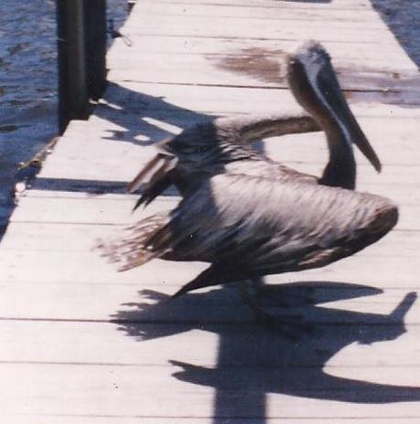 Yellow headed Older Brown Pelican